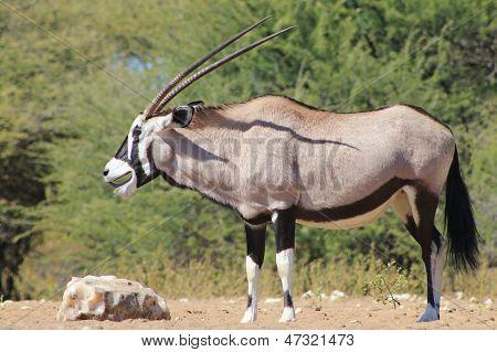 Oryx / Gemsbok - Wildlife Background from Africa - Fun Times