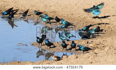 Starling - Wild Bird Background from Africa - Colorful Birds in Action