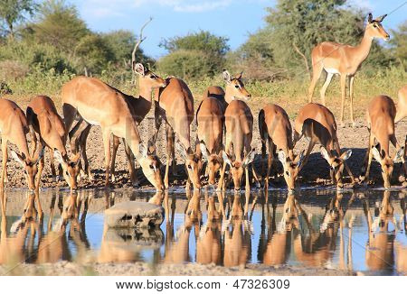 Impala - Wildlife Background from Africa - Gathering of the Beautiful