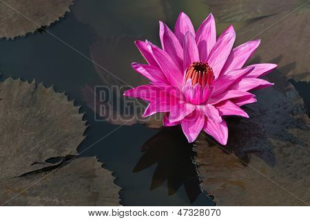 Fuchsia-colored Star Lotus Flower