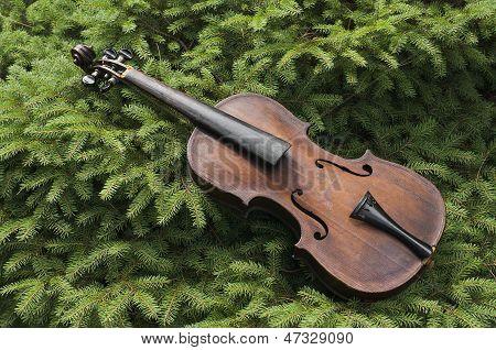 Vintage Violin On A Pine Tree