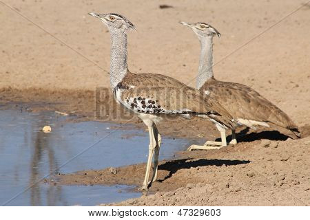 Kori Bustard - Wild Bird Background from Africa - Couple of Contrasts