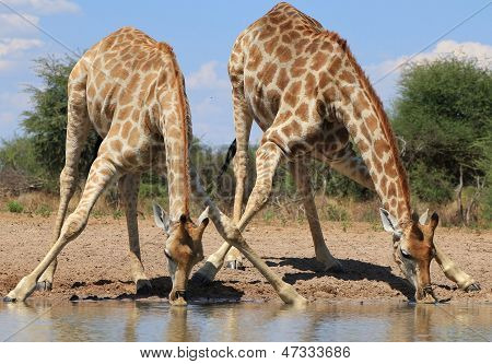 Giraffe - Splitting for Sips - Wildlife from Africa