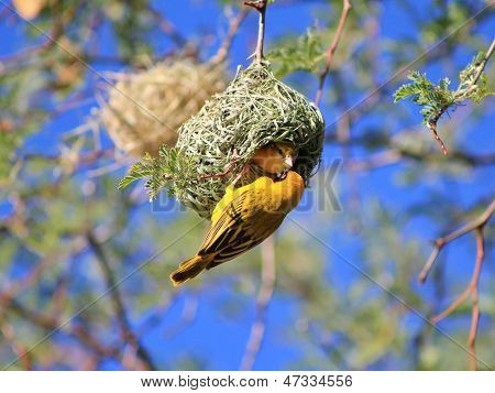 Yellow Masked Weaver - Wild Bird Background from Africa - Nest Inspection Time
