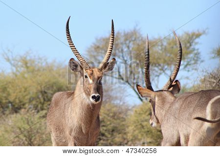 Waterbuck - Wildlife Background from Africa - Giving you the Eye