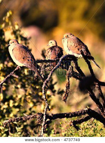 Tres Doves Ocotillo