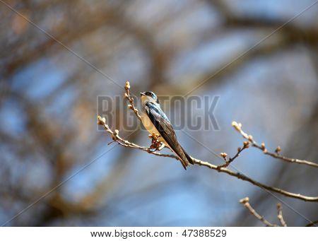 Tree Swallow bird on the branch