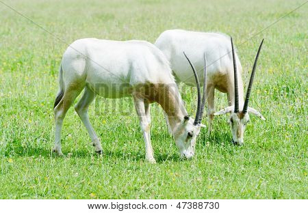 Scimitar Horned Oryx Together