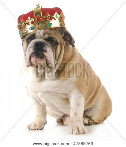 dog wearing crown - english bulldog wearing king's crown sitting looking at viewer isolated on white background