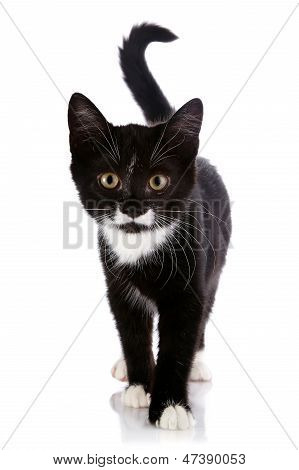 The Black And White Kitten Goes On A White Background.