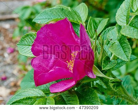 Flower Of Rugosa Rose Macro