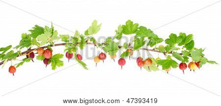Ripe Red Gooseberry On Branch With Green Leaves