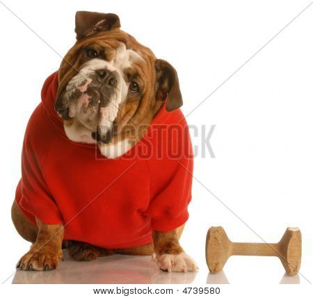 Bulldog In Red Sweater With Dumbell