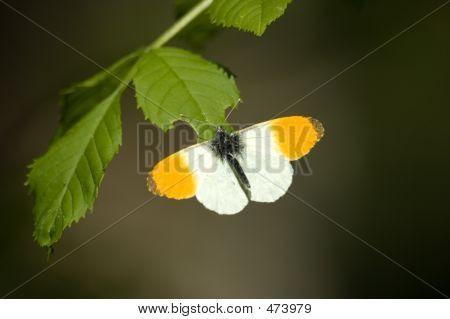 Butterfly/orange Tip