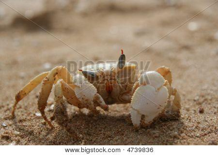Winking Crab