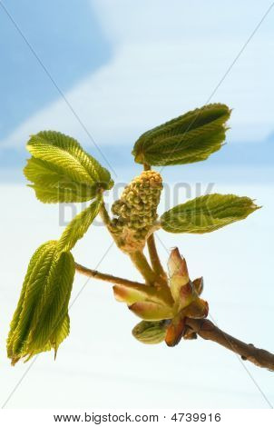 Blossom Chestnut