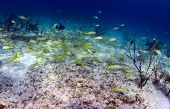 stock photo of school fish  - School of fish that includes trigger fish and yellowtail snapper in an underwater seascape - JPG