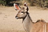 picture of stature  - A Kudu cow listens into a specific direction - JPG