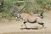 Oryx - Gemsbok run and Wildlife Background from Africa