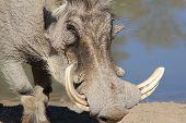 pic of wart  - An adult male Warthog  - JPG