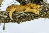 Wildlife - Sleeping lion