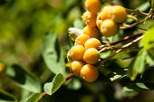 stock photo of rowan berry  - European Rowan Sorbus aucuparia with orange berries in autumn - JPG