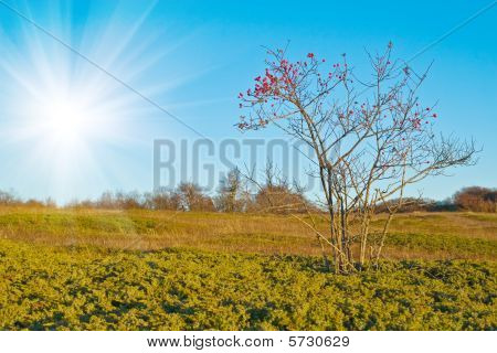 Dogrose Bush With Red Hips On Yellow Autumn Meadow