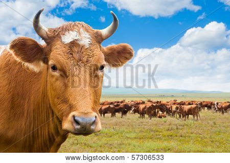 Cow, Isolated Over Summer Meadow