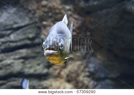 Closeup Of A Red-bellied Piranha