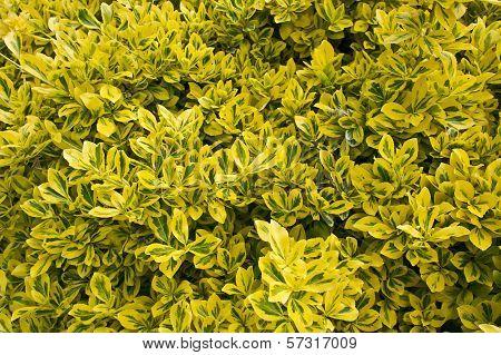 Close up of a variegated box hedge shrub.