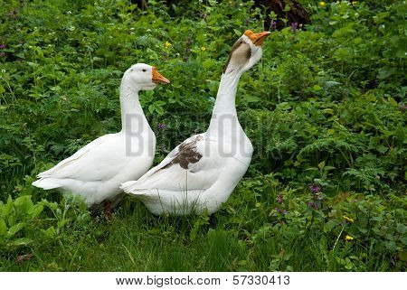 Two White Goose On Natural Background