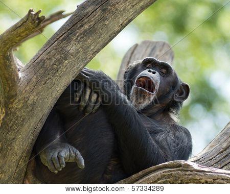 yawning chimpanzee