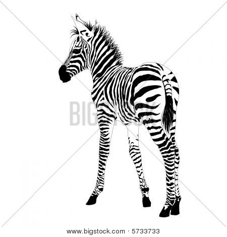 African animals 2 : vector baby zebra