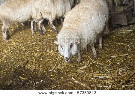 Sheep Near The Manger With Hay