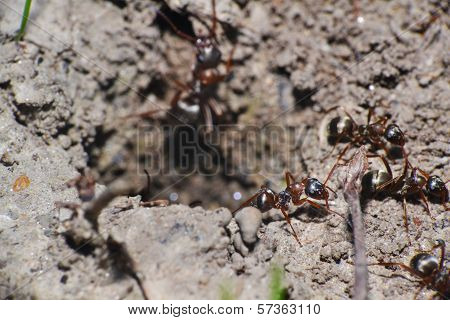 Brown Ants