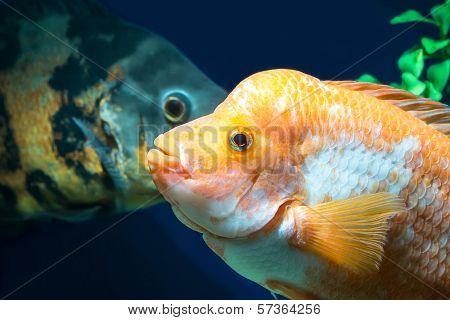 Big Cichlids In  Aquarium