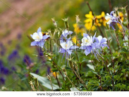 Columbine Wildflowers Colorado State Flower