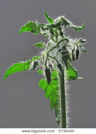 Plant Tomato