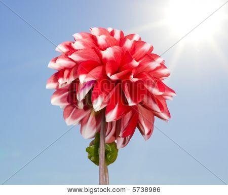 Big Red And White Dahlia