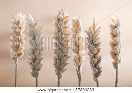 Fresh Ears Of Wheat