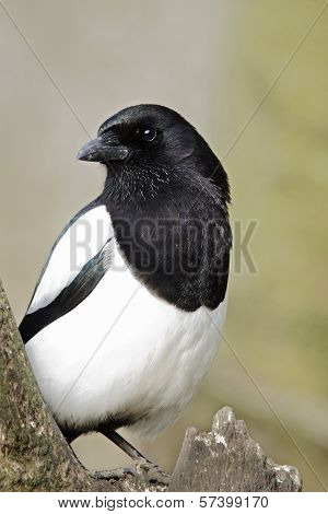 A study of a Magpie (Pica pica).