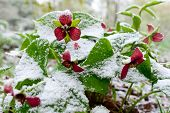 image of frostbite  - Red Trillium erectum caught in an unexpected late spring snowfall. A reminder to gardeners against planting too early in the gardening season. ** Note: Shallow depth of field - JPG