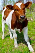 pic of calves  - a young calf in nature close up - JPG