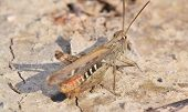 picture of locust  - locusts on the ground close up - JPG