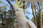 Squawking Cockatoo