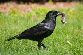 image of shrew  - American Crow with Short - JPG