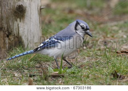 Blue Jay Foraging On The Ground