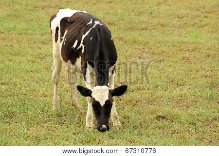 Holstein Calf in a Pasture
