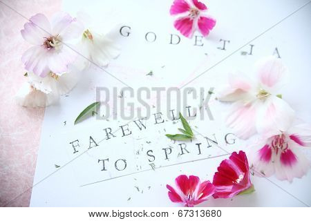 Godetia flowers with text