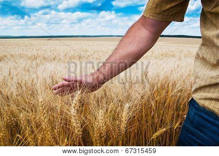 Male Hand Touching Wheat